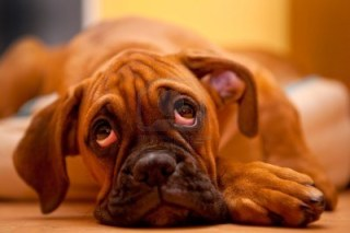 6482172-german-boxer--sad-dog